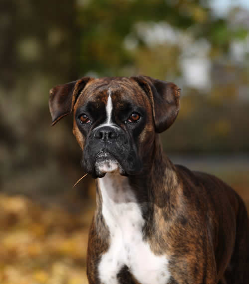 boxer dog oak house vets nottingham
