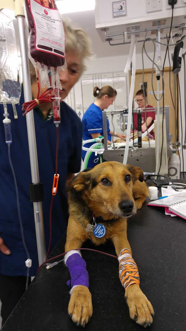 oak house vets dog blood donor in nottingham