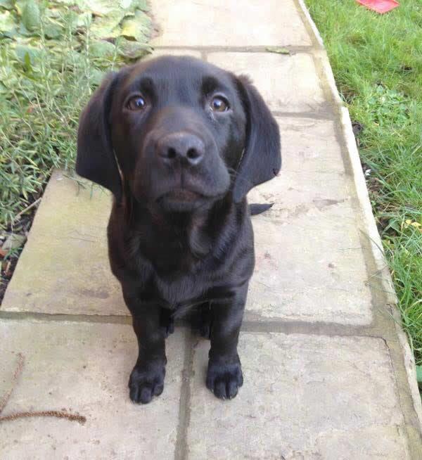 Labrador Molly