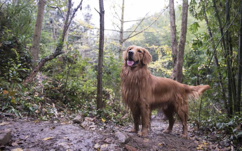 Retriever in muddy wood at Oak House Vets